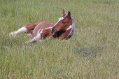 Filly lying in pasture