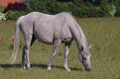 Pasturing arabian mare