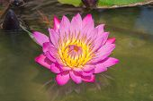 Beautiful Lotus flower , raised above the water surface.