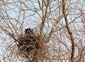 Nest of crow.