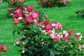 Red Roses In The Garden In Rome City