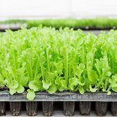 Close Up Green Lettuce Seedling On Tray