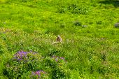 stock photo of marmot  - Marmot in an alpine meadow in summer mountains - JPG