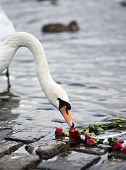 picture of tchaikovsky  - Swan in the pond sniffing at the red roses - JPG