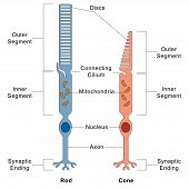 Rod and Cone cells