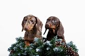 stock photo of long hair dachshund  - Dachshund puppy brown color on a white isolated background - JPG