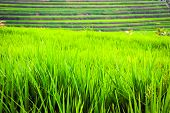 Rice Fileds Terraces With Fresh Green Rice In Jatiluwih, Bali, Indonesia