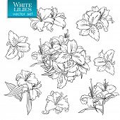picture of white lily  - Outline drawings of white lilies - JPG