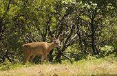 foto of black tail deer  - Male  - JPG