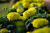 Yellow Beauty - Flower