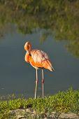 Galapagos Flamingo in Santa Cruz Islands