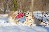 Yellow Labradors In Winter With A Toy