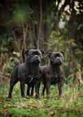 two Staffordshire bull Terrier