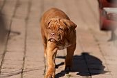 Very Funny Puppy Bordeaux Mastiff