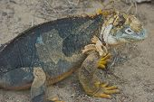pic of ugly  - Charles Darwin described the Galapagos land iguana as ugly animals - JPG