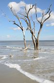 pic of driftwood  - Upright driftwood on the beach at Hunting Island State Park in South Carolina - JPG