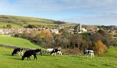 Cows grazing in Dorset village of Abbotsbury England UK known for its swannery