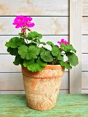 Blooming Geranium In Old Clay Pot