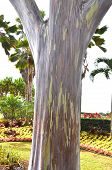Mindanao Gum Tree (eucalyptus Deglupta)