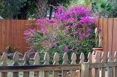 Backyard Garden In Florida With Bougainvillea Flowers