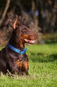 Doberman in green grass