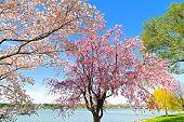 Peak of cherry blossom in Washington DC.