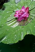 Lotus and water drops on leaves.