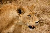 African lioness with ticks and notched ear
