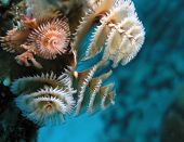 Christmas tree worms on underwater reef