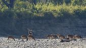 wild spotted deers on the riverbank at Bardia national park, Nepal