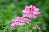 stock photo of lantana  - pink lantana camara flower on green background - JPG