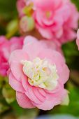 Numerous Bright Pink Flowers Of Tuberous Begonias