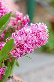 Close Up Shot Of Fresh Pink Hyacinth Flowers