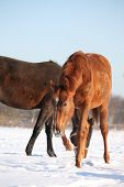 picture of colt  - Chestnut young colt walking in the snow