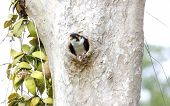 image of thighs  - Black-thighed Falconet Microhierax fringillarius Birds of Thailand ** Note: Shallow depth of field - JPG