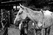 Mare and its foal in a farm