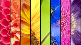 stock photo of windflowers  - Rainbow collage of red orange yellow green blue pink violet purple colors of Dahlia Sunflower Fern leaf Anemone Windflower Gerbera and Poppy flowers in closeup separated with black strips - JPG