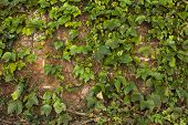 image of ivy vine  - Old brick wall texture covered with green ivy creeper - JPG