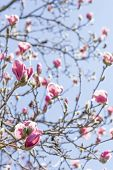 picture of magnolia  - Beautiful spring bloom for magnolia tulip trees pink flowers - JPG