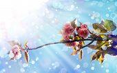 picture of cherry  - Beautiful cherry tree flowers - JPG