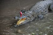 image of crocodiles  - Adult Dangerous Crocodile in a Green Water River - JPG