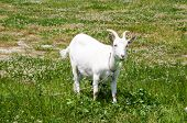 pic of goat horns  - Goat with horns grazing on the meadow - JPG