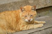 stock photo of tabby cat  - Yellow male tabby cat laying on concrete step sleeping - JPG