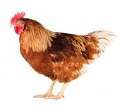 stock photo of roosters  - Young brown rooster side view isolated on white background - JPG