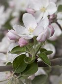 foto of may-flower  - White flowers apple spring day in May - JPG
