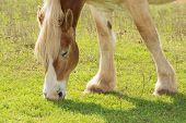 image of draft  - Blond Belgian draft horse grazing in spring sun - JPG