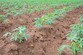 foto of cassava  - The cassava farm at the countryside of Thailand - JPG