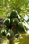stock photo of pawpaw  - A large bunch of Papaya fruit hangs beneath an umbrella of leaves protecting its fruit from the harsh light - JPG