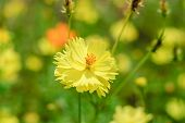 pic of cosmos flowers  - yellow cosmos flower blossom in the garden - JPG