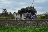 picture of abandoned house  - Plant with purple flowers growing on abandoned house - JPG